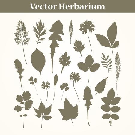 herbarium: Herbarium . Traced leaves of garden plants