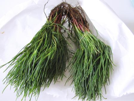 Salsola soda or opposite-leaved saltwort