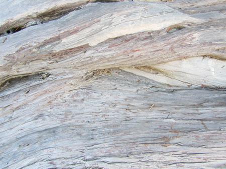 Wood texture of olive trunk tree, Olea europaea