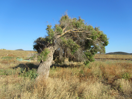 A green tree bent by the wind in a dry rural area. Limpid blue sky in the background.