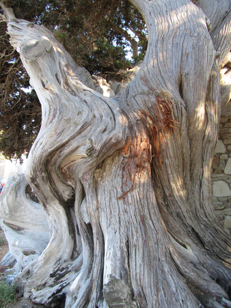 An old olive tree, Olea europaea, that grows near a grey stone wall.