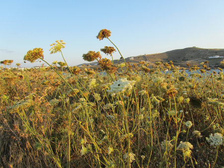 A field of wild Umbelliferae, an aromatic flowering plants, close to the sea at sunset
