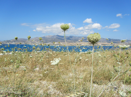 A field of wild Umbelliferae, an aromatic flowering plants, with Paros island in tha background, Antiparos, Cyclades, Greece Stock Photo