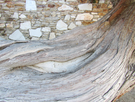 Wood texture of olive trunk tree, Olea europaea, that grows on a stone wall.