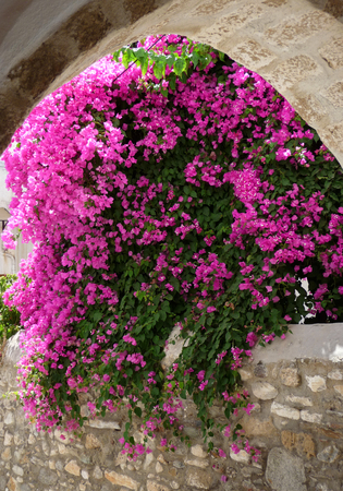 Pink flowers in a traditional Greek town