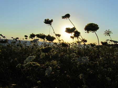 Shadows of flowers in a field of wild Umbelliferae, an aromatic flowering plants, at sunset