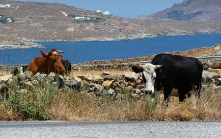 Cows along a rural road with blue sea a mountains in background, Greece Stock Photo