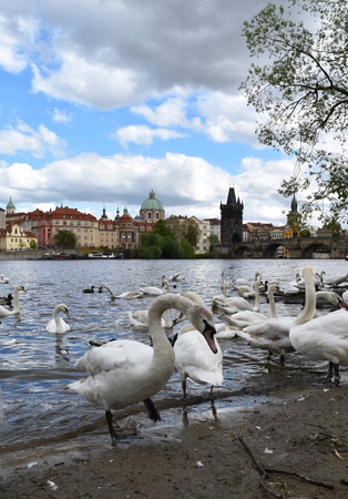 Many white swans on the shore of river Vltava; in the background the Old Town of Prague in Czech Republic with blue sky and white clouds.