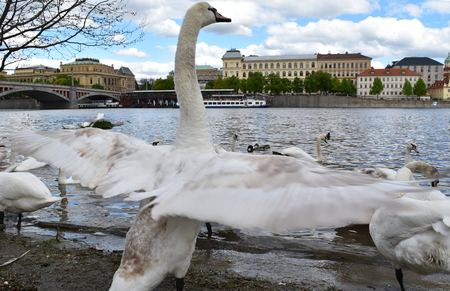 A white swan with open wings on the shore of river Vltava; in the background Prague in Czech Republic with blue sky and white clouds. Stock Photo - 94077330