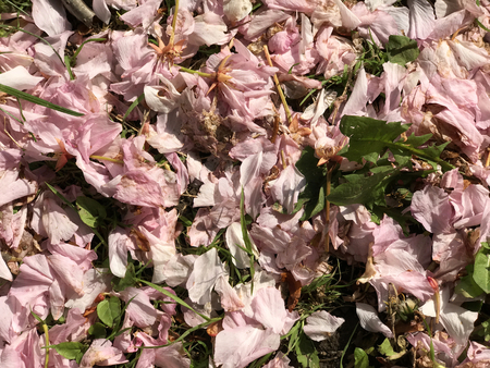 A lot of pink flowers petals with green leaves. Suitable to be used like a background. Stock Photo - 93848909