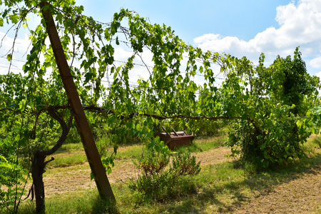 Row of grapevine with blue sky in the background Stock Photo