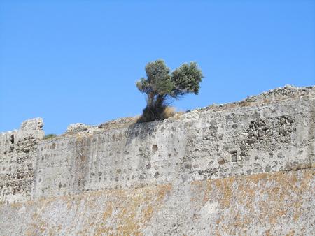 A tree growing on the wall of Byzantine Antimachia Castle, Kos island, Greece