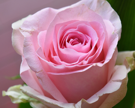 A pink rose. Close up, macro. Suitable to be used like a background Stock Photo