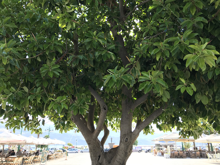 The big green fig tree of Lixouri in Cephalonia or Kefalonia, Greece.