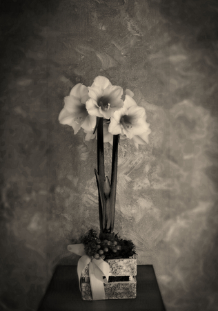 Three hippeastrum royal red flowers on yellow background. Sepia effect. Stock Photo
