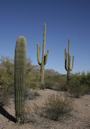 gigantea: The huge cactus - Carnegie giant (Carnegiea gigantea). Organ Pipe Cactus National Monument, Arizona, US