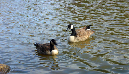 canadian geese: Canadian geese on the lake Stock Photo