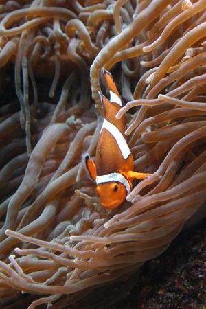 Clownfish (Amphiprion sp.) swimming underwater in Oceanarium