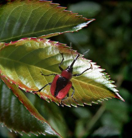 Beetle on pink wild rose leaf weevil Stock Photo