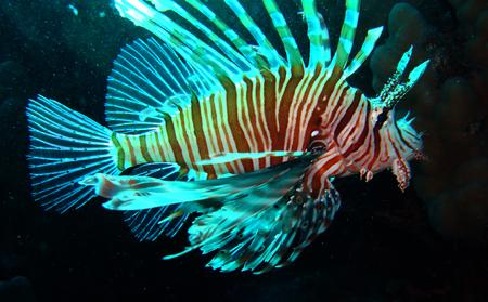 firefish: Devil firefish (Pterois miles)