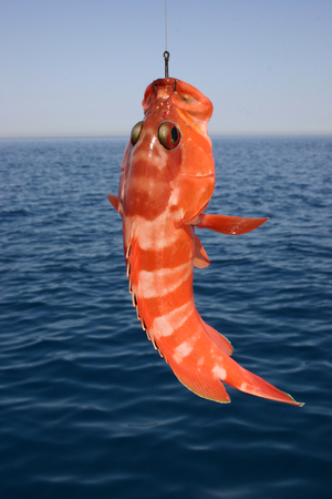 Beautiful tropical fish from the Red Sea, which are caught on bait