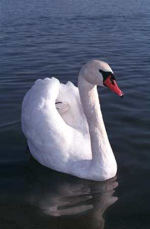 White swan with a red beak. Birds of Europe. Stock Photo