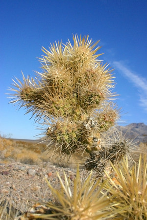 Cholla cactus garden in Joshua tree national park, California,Cylindropuntia bigelovii