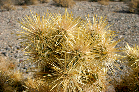 cholla: Cholla cactus garden in Joshua tree national park, California,Cylindropuntia bigelovii