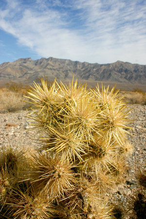 Cholla cactus garden in Joshua tree national park, California,Cylindropuntia bigelovii