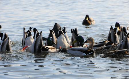 Birds of Ukraine. Swans, gulls and ducks - wintering waterfowl in the Black Sea Stock Photo