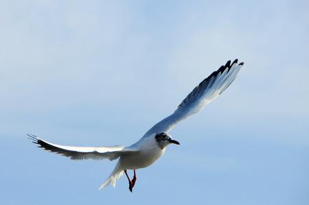 Birds of Ukraine.Gulls fly against the blue sky. Wintering waterfowl. Black Sea