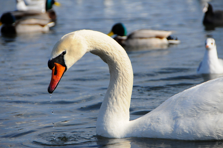 Birds of Ukraine. Swans, gulls and ducks - wintering waterfowl in the Black Sea Stock Photo
