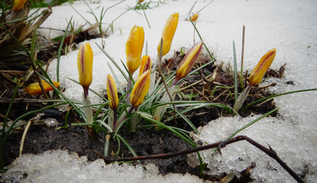 Crocuses, spring flowers sprout from the snow