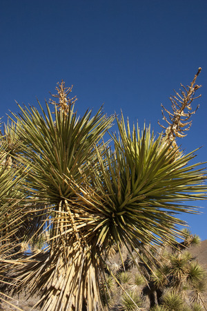 Many large Yucca in the Sierra Nevada Mountains, California, USA. The Sierra Nevada is a mountain range in the Western United States. Stock Photo