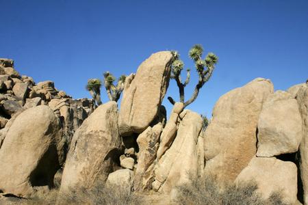Joshua Tree Landscape Yucca Brevifolia Mojave Desert Joshua Tree National Park California