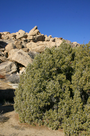 Berries, fruits on juniper. Mojave Desert, Joshua Tree National Park, California