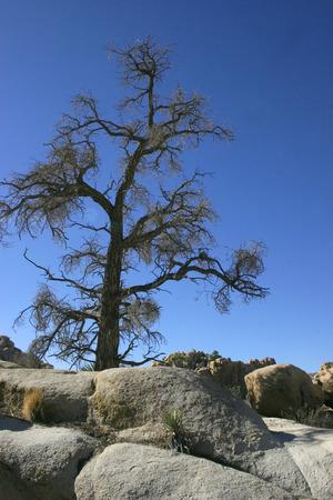 Chenille Prickly Pear Cactus. Mojave Desert Joshua Tree National Park
