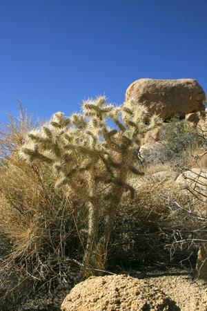 Yucca Nolina Beargrass Hidden Valley Landscape Mojave Desert Joshua Tree National Park California