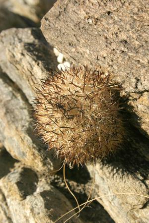 Escobaria sp., Joshua Tree National Park, California
