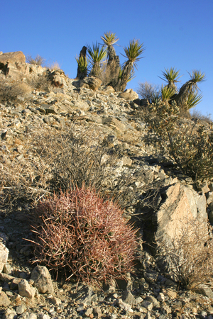 Echinocactus polycephalus, Cottontop Cactus, Many-headed Barrel Cactus, Mojave Desert Joshua Tree National Park, California