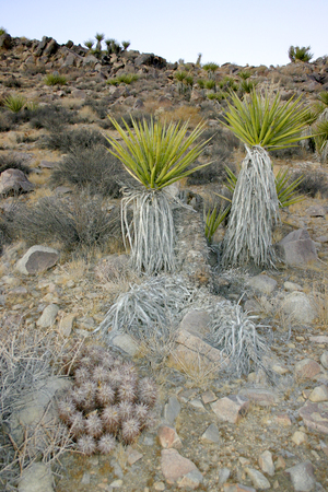 Joshua Tree Landscape Yucca Brevifolia Mojave Desert Joshua Tree National Park California  Banco de Imagens