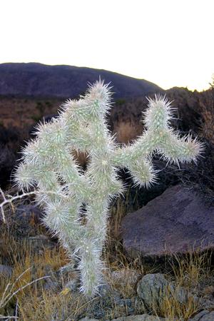 A teddy bear cholla cactus in the California desert