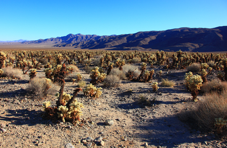Jumping Cholla Cactus Field in Joshua Tree National Park, California. Banco de Imagens