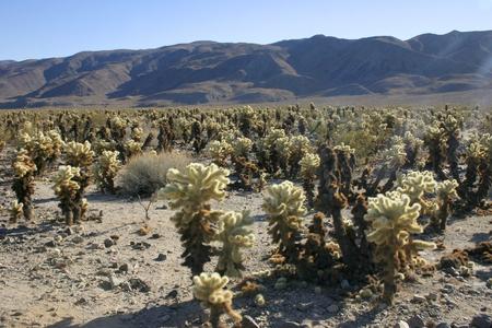 Cholla Cactus Garden in Joshua Tree National Park