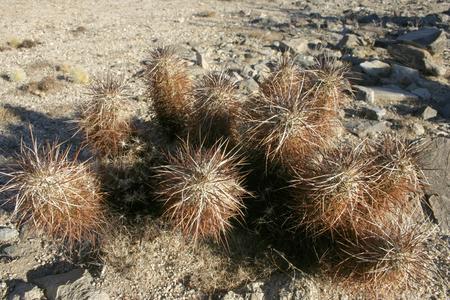 Echinocereus engelmani. Group of cacti among stones, Mojave Desert, Joshua Tree National Park, California