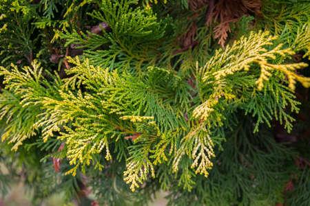 Coniferous plant, green branch with yellow edges Biota eastern Zdjęcie Seryjne