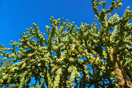 Cactus. Cane Chola Cylindropuntia spinosior on a background of blue sky. Arizona, USA