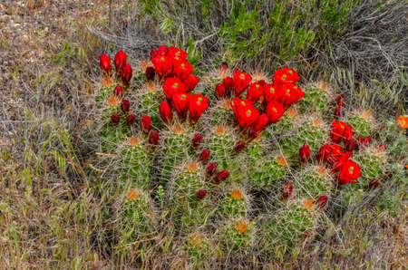 Flowering plants (Echinocereus sp.) Known commonly as the hedgehog cactus, east Utah Zdjęcie Seryjne