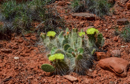 Flowering cactus plants, Yellow flowers of Opuntia polyacantha in Canyonlands National Park, Utha USA 스톡 콘텐츠