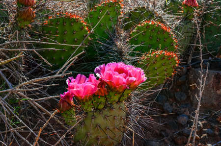 Flowering cactus plants, Pink flowers of Opuntia polyacantha in Canyonlands National Park, Utha USA